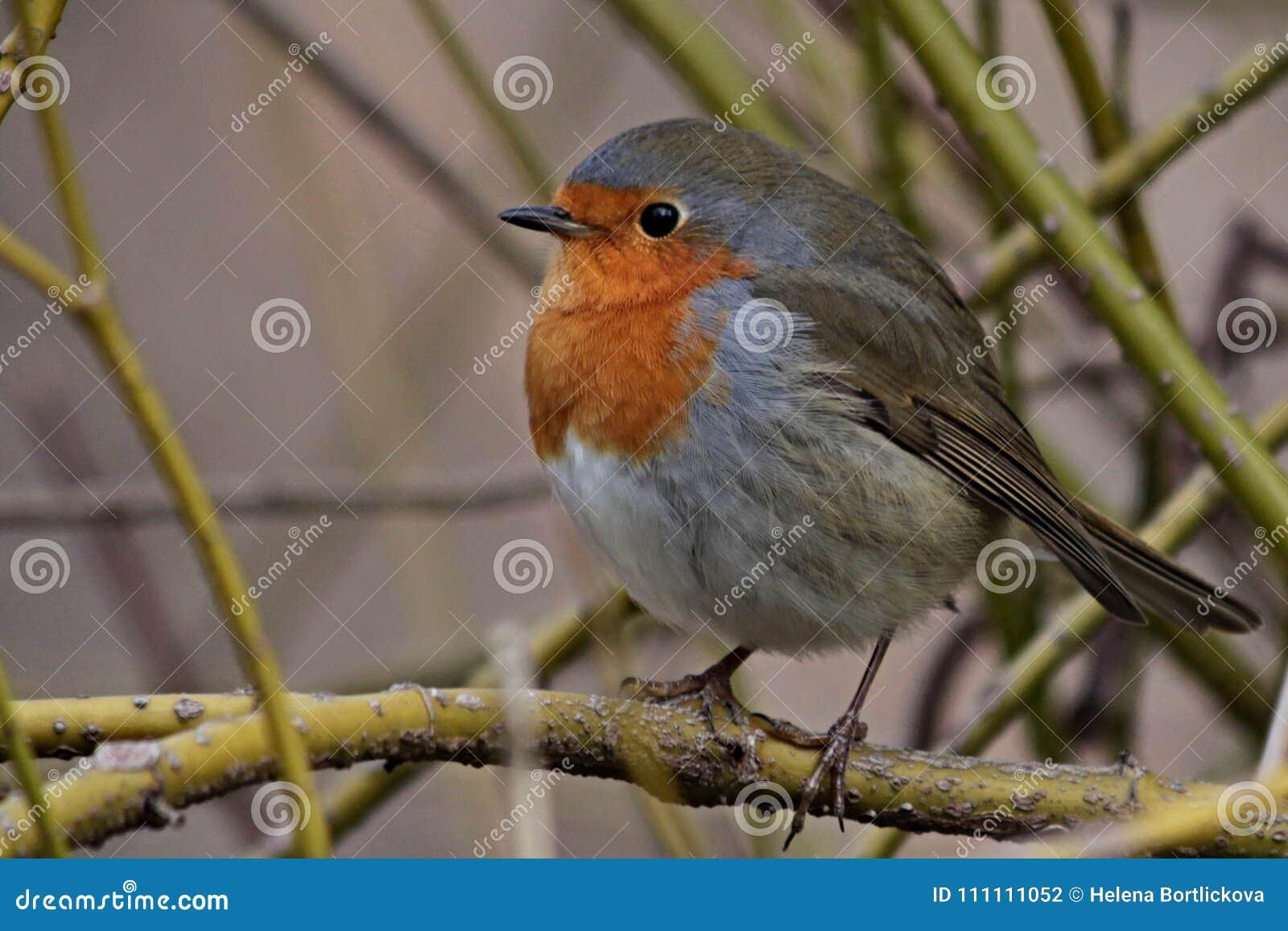 red robin bird stock images 4 163 photos