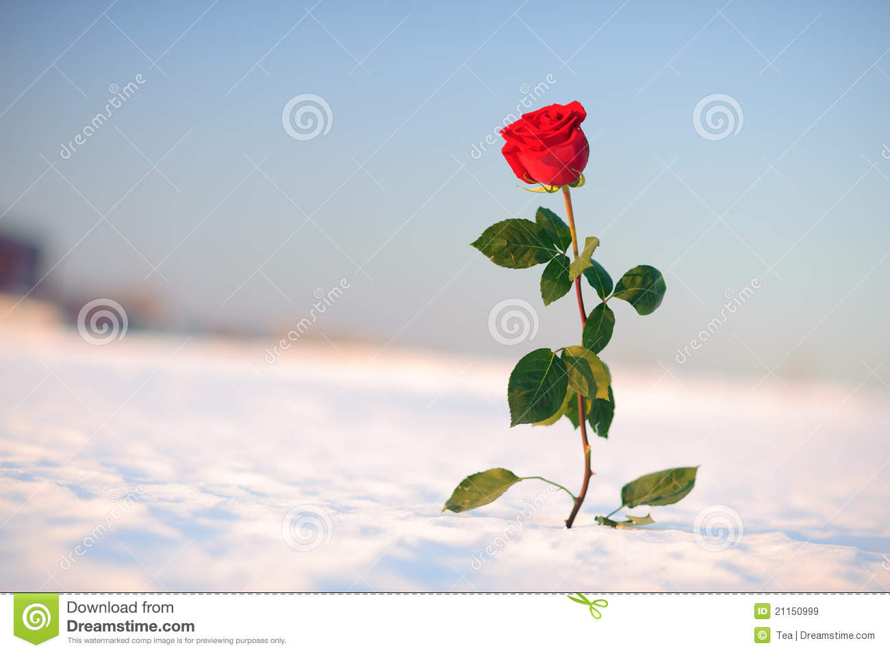 Red Rose Royalty Free Stock Images - Image: 21150999