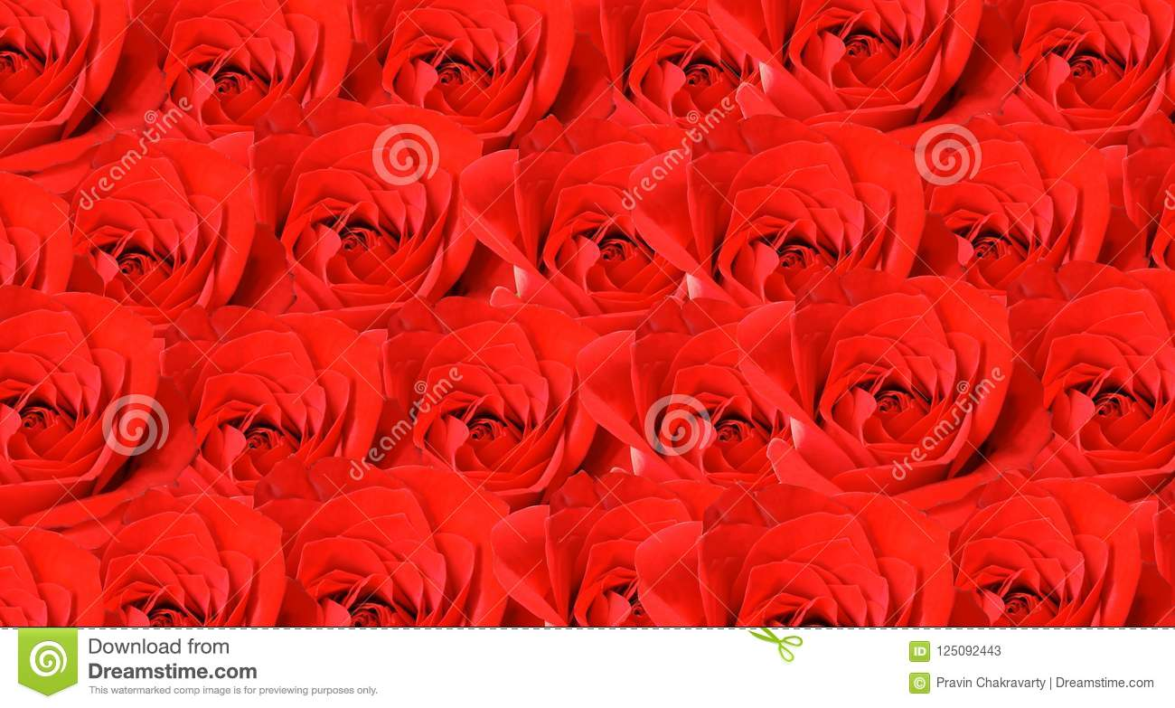 red rose background wallpaper stock image image of colorful