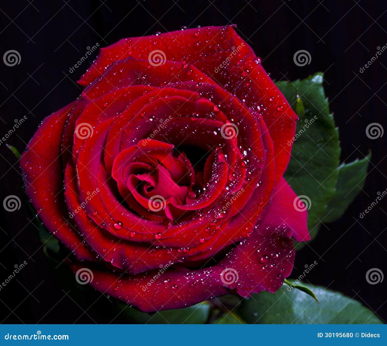 Red Rose On Bla...