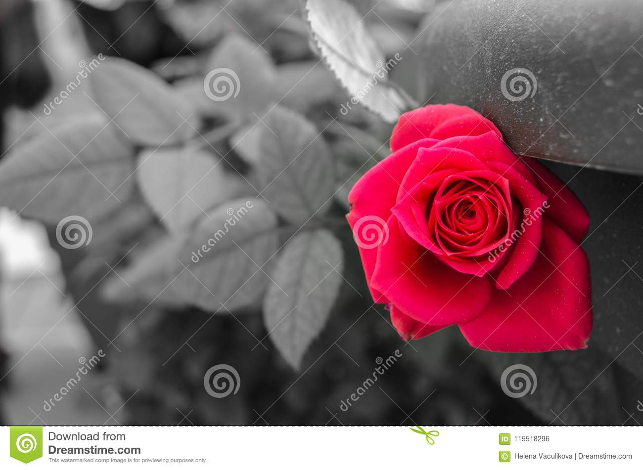 Red rose and black and white background stock photo image of