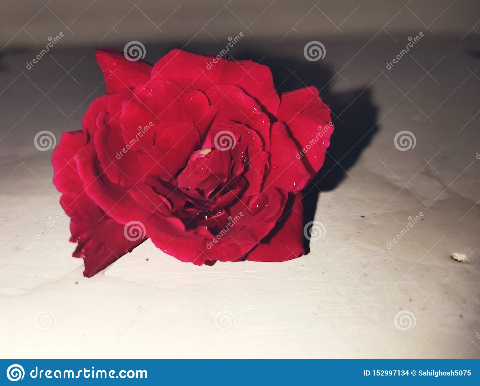 Red rose.blossom