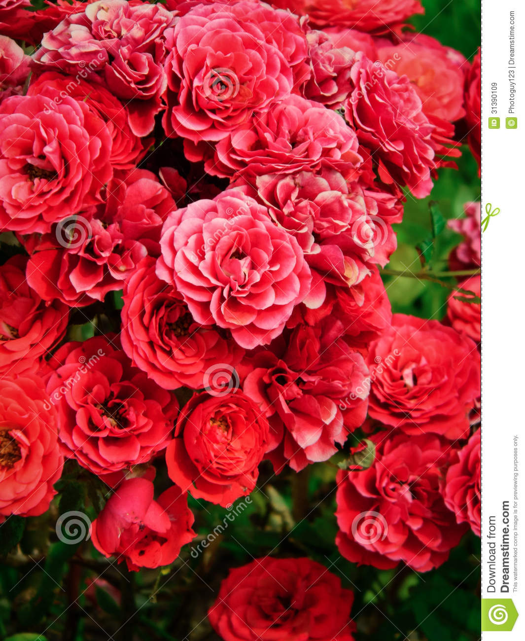 Garden Bush: Red Rose Bush Stock Image. Image Of Love, Nature