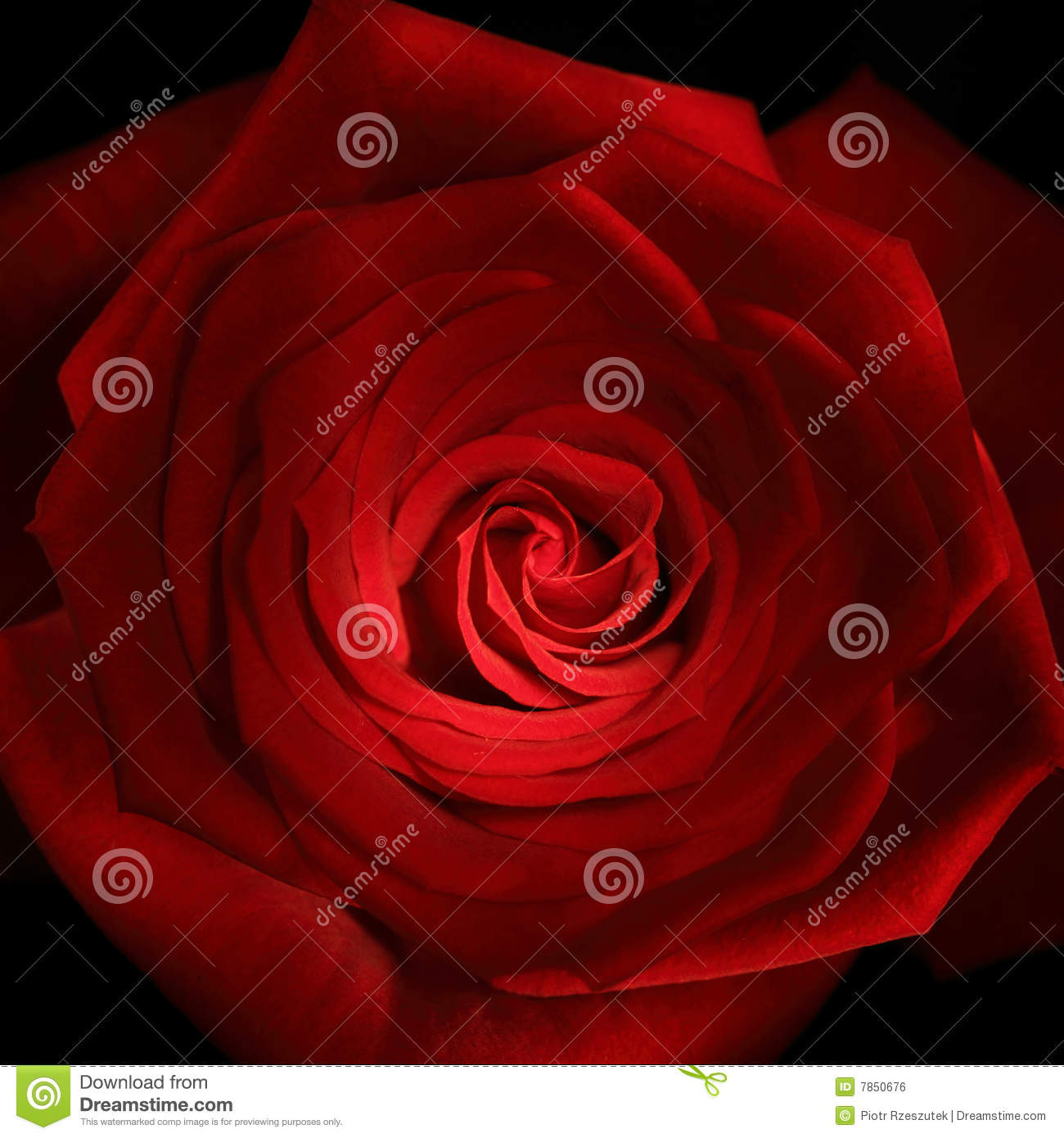 Red rose close up painted with lightstick