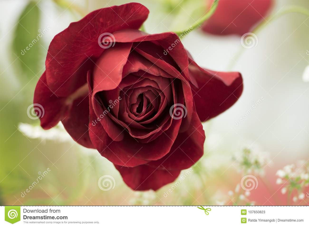 A red rose flower on beautiful background stock image image of the deep red rose is in blooming with lovely white flowers on beautiful background izmirmasajfo