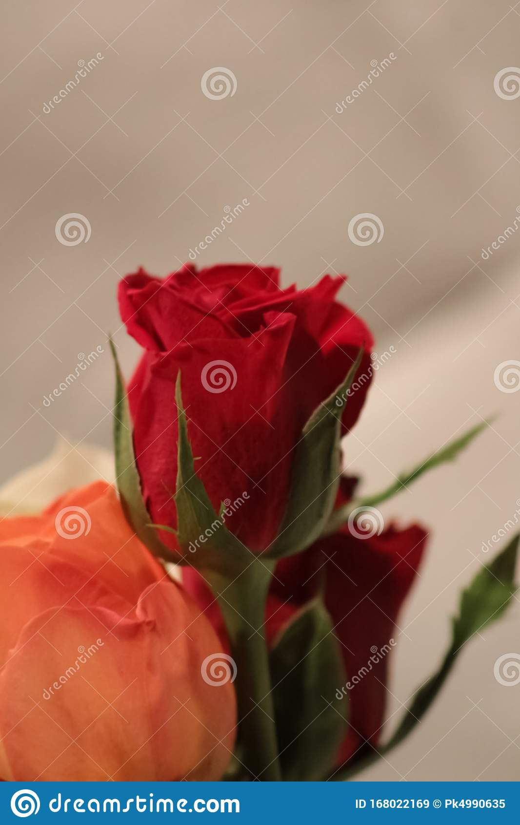Red Rose Flower Beautiful Wallpaper Stock Image Image Of Most