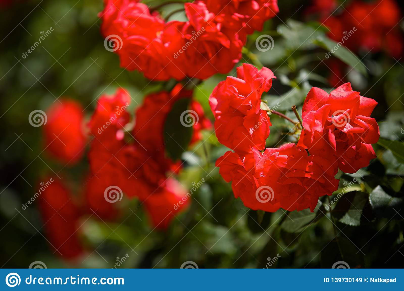 Red rose flower close-up