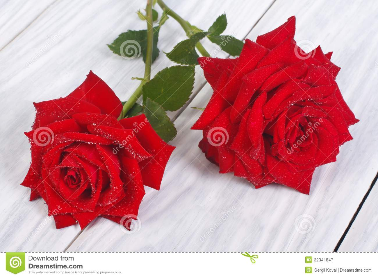 red rose flower with dew drops stock image image of fragrant