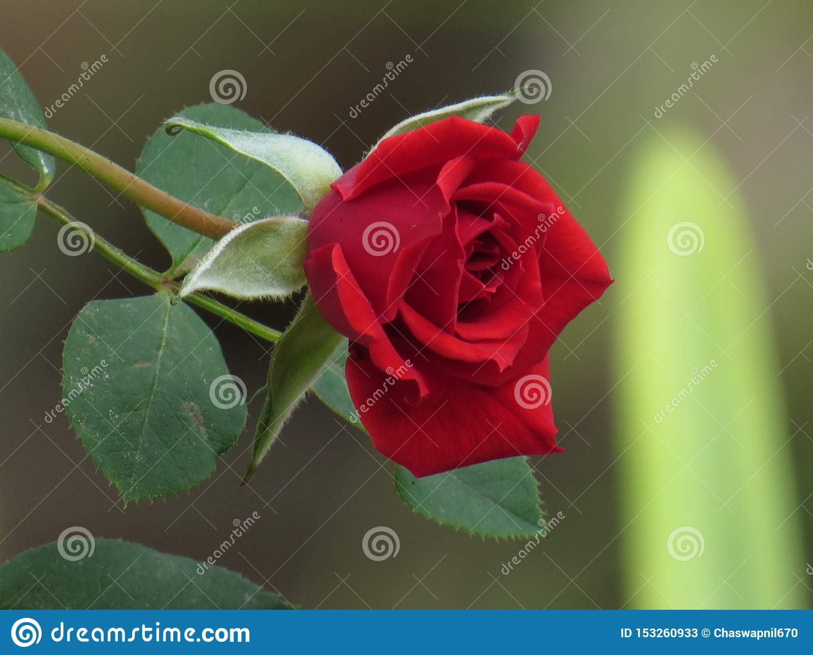 Red Rose Flower with green leaves