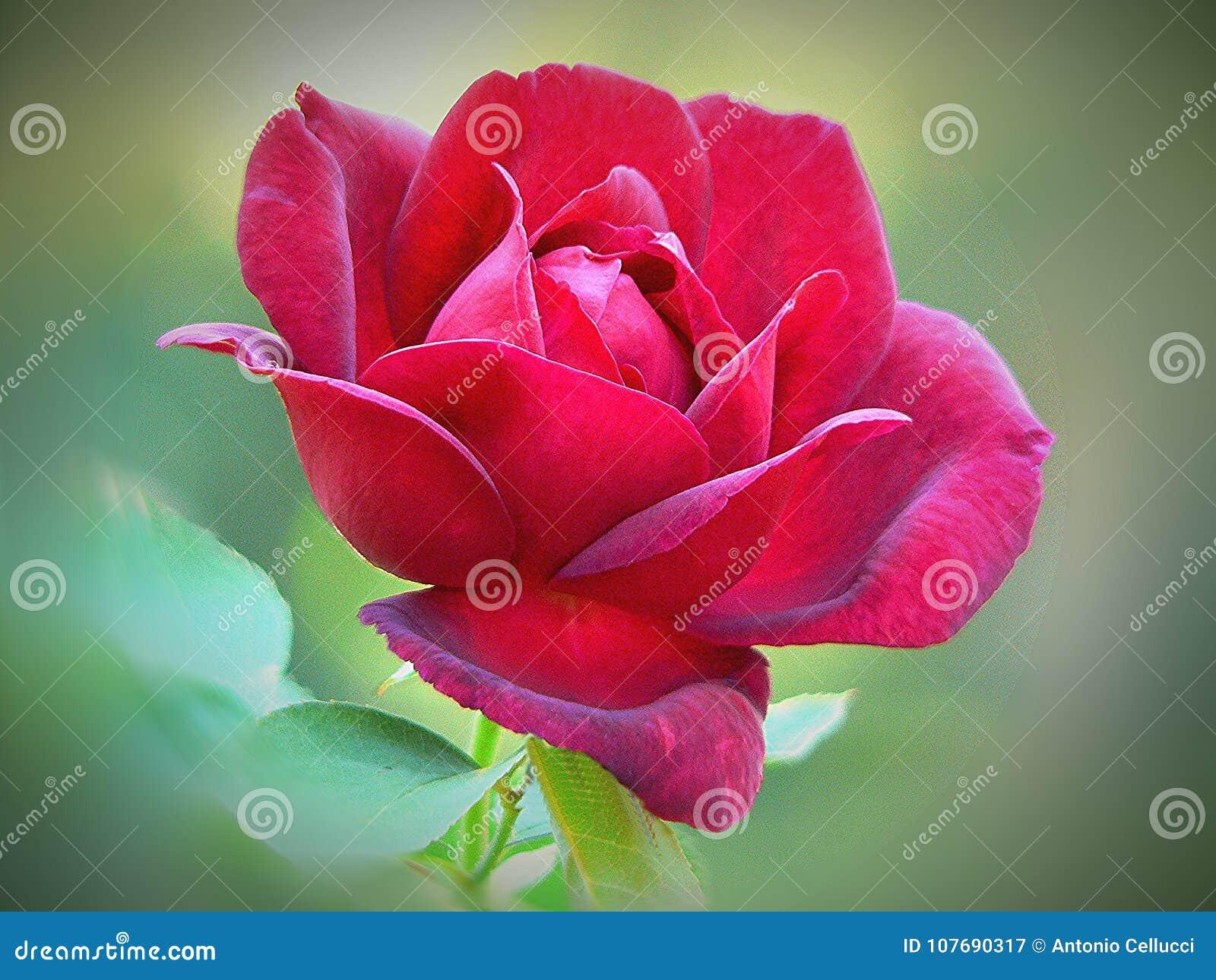 Red Rose Flower of Love