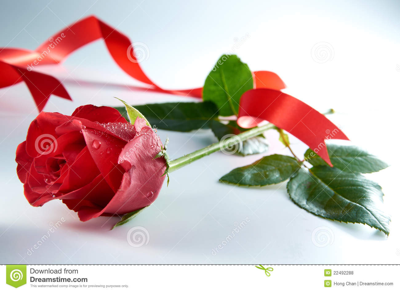 Beautiful Single Red Rose Flower Isolated Royalty Free: Red Rose Flower With Red Ribbon Royalty Free Stock Photos