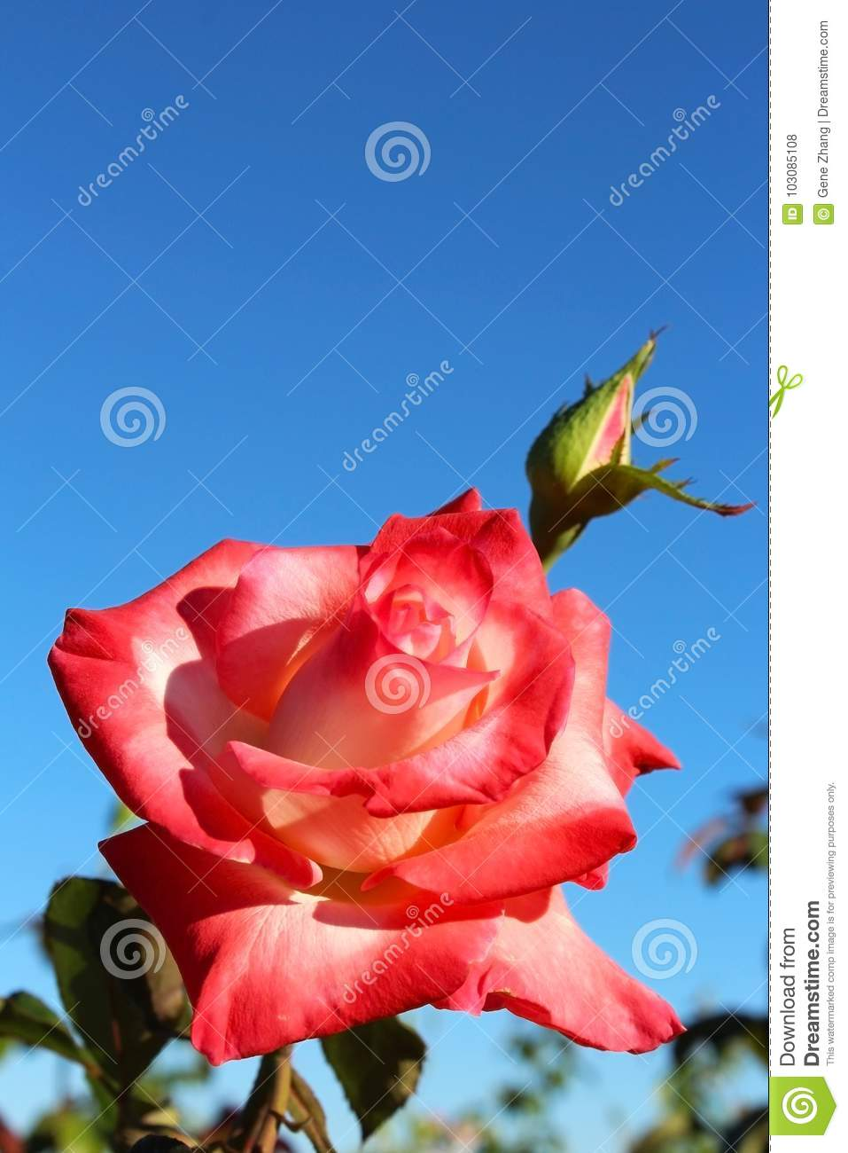 Red Rose Flowrer Stock Photo Image Of Pink Color Backgrounds