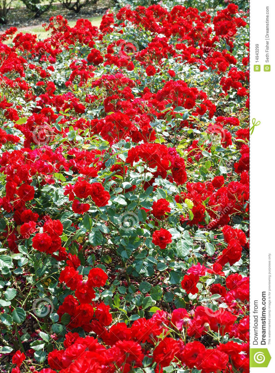 Roses In Garden: Red Rose Garden Stock Image. Image Of Leaves, Cluster