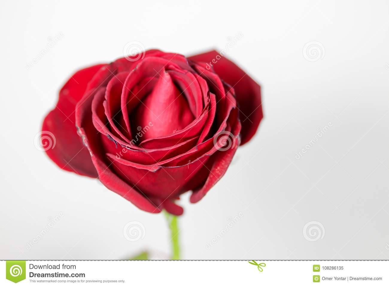 Red Rose Isolated With White Background Stock Image Image Of