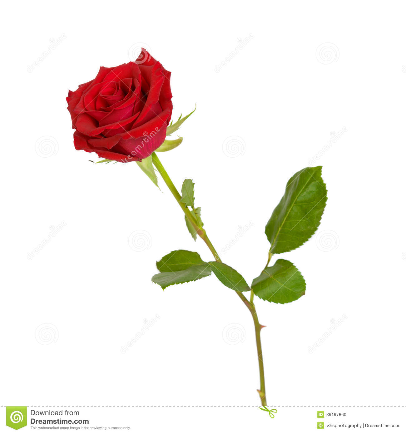 Red Rose Isolated On White - Side View Stock Photo - Image: 39197660
