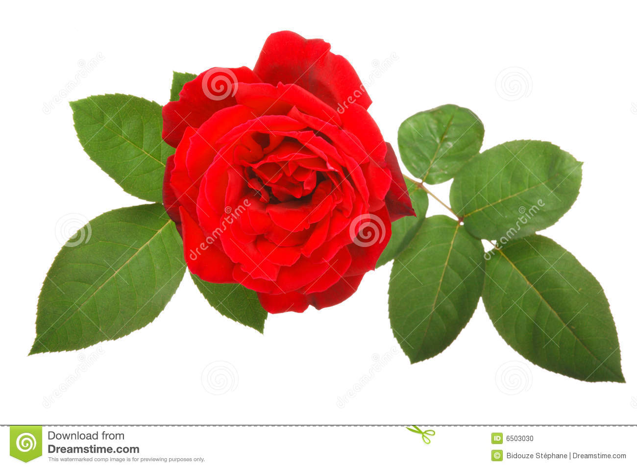 Red Rose And Leaves Stock Image