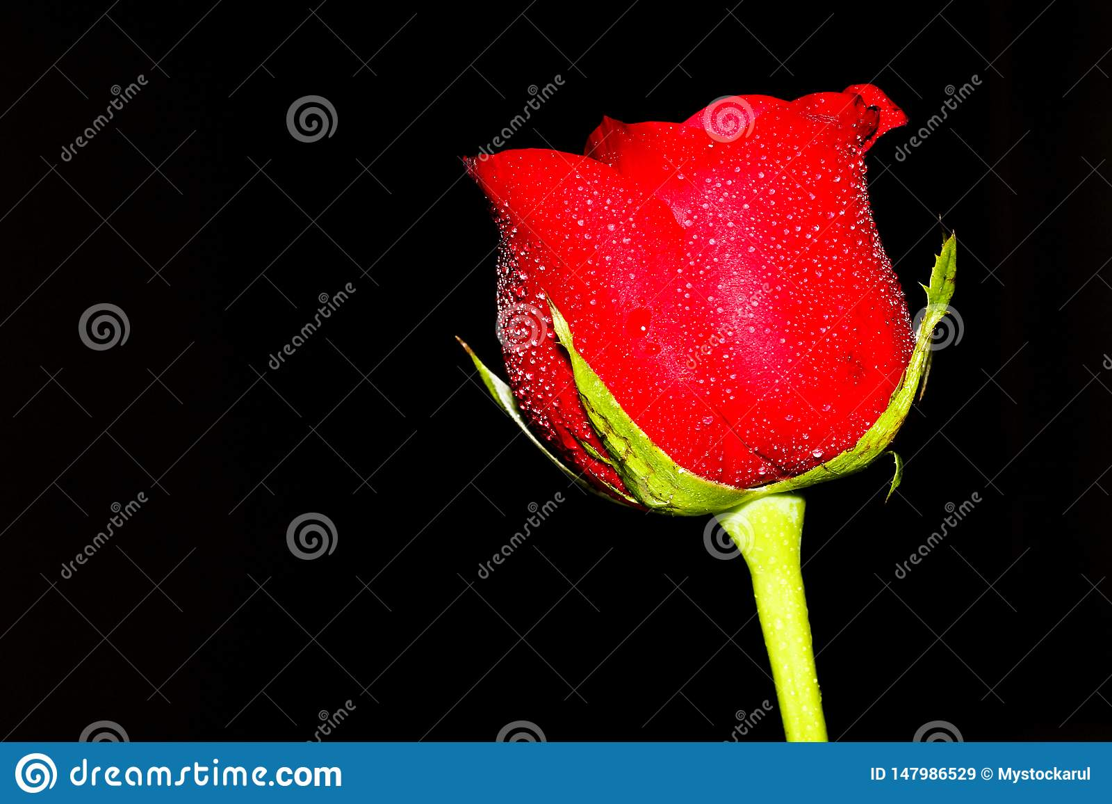 Red Rose low key photography