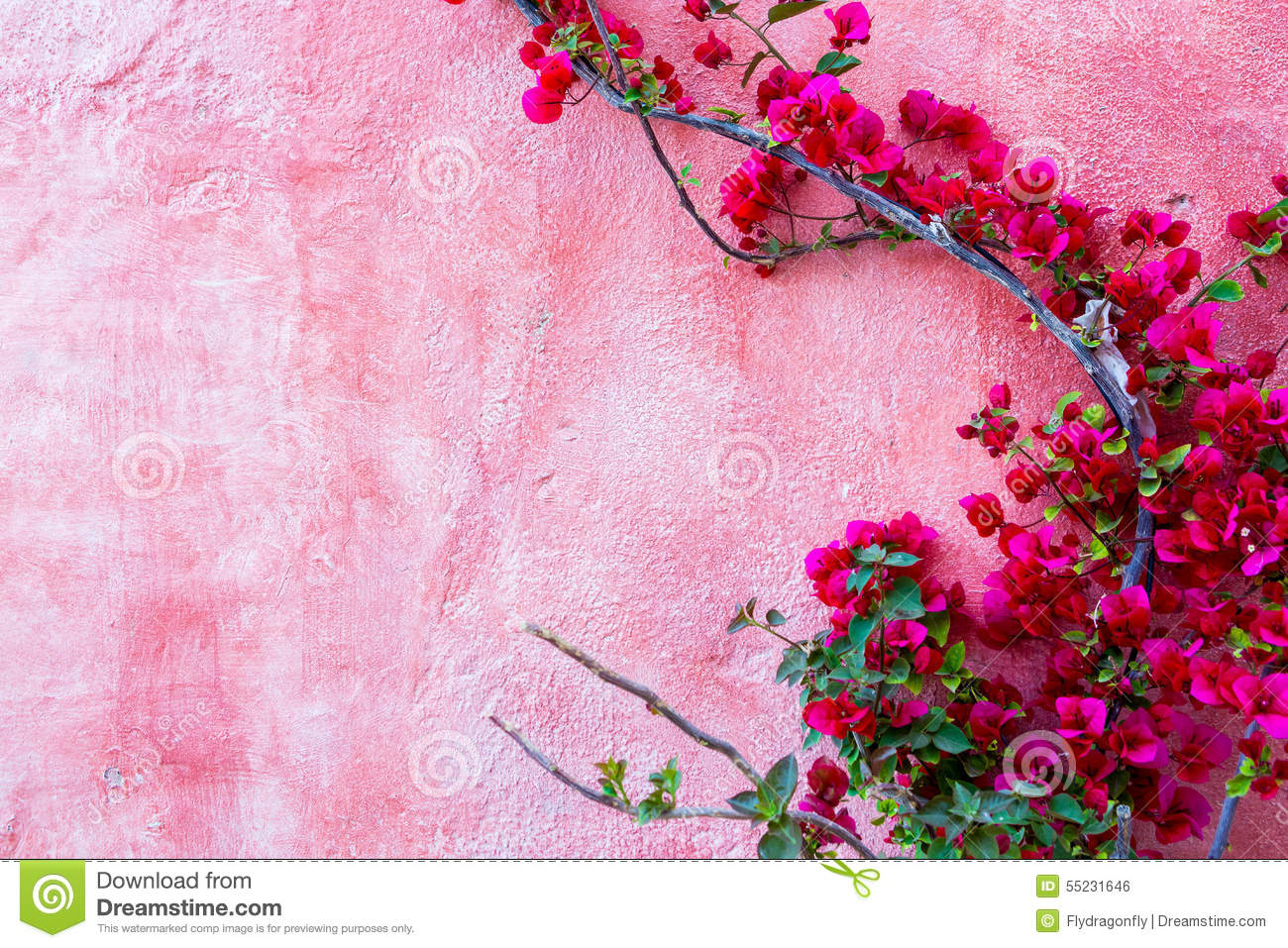 Red rose plant against pink wall background stock photo image of red rose plant against pink wall background mightylinksfo