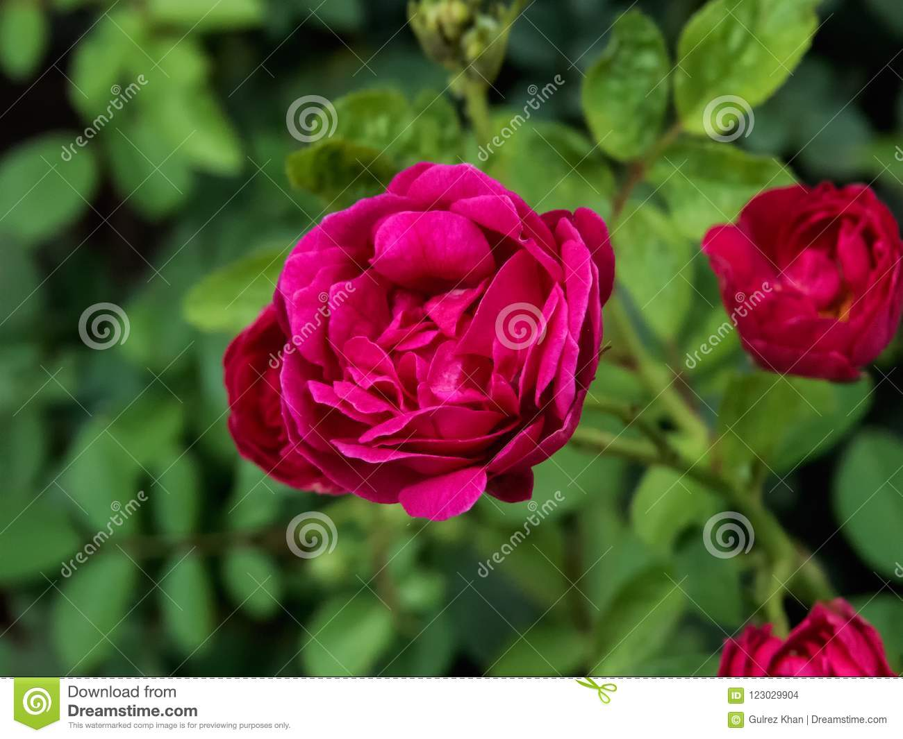 Red rose on plant, with green leaves-India