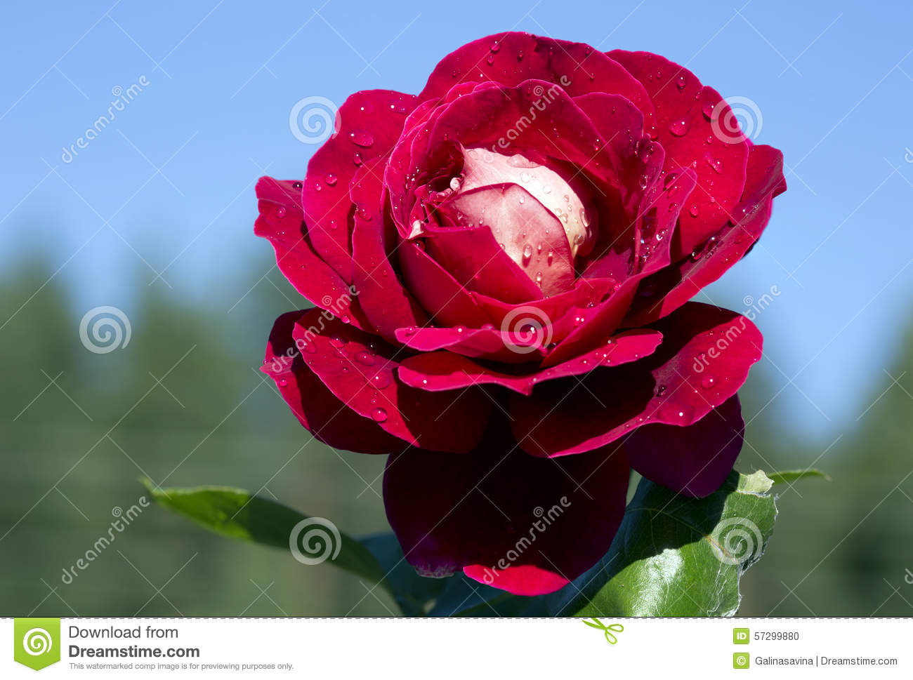 Red Rose Queen Of Flowers Stock Photo Image Of Gardening 57299880