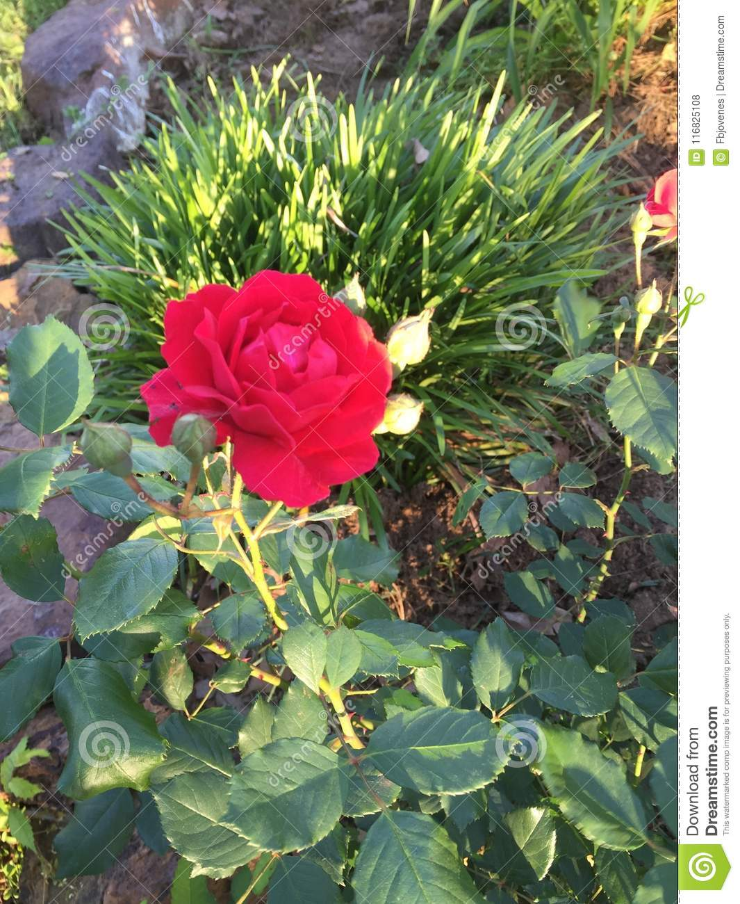 A red rose from rural East Texas
