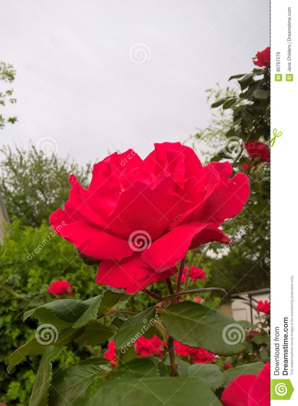 red rose stock photo  image of flowers  landscaping  rose