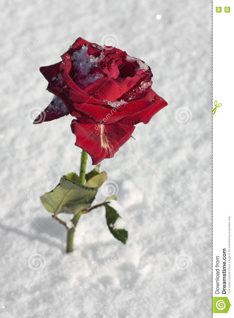 Red Rose On Snow Ground Stock Image Image Of Spring