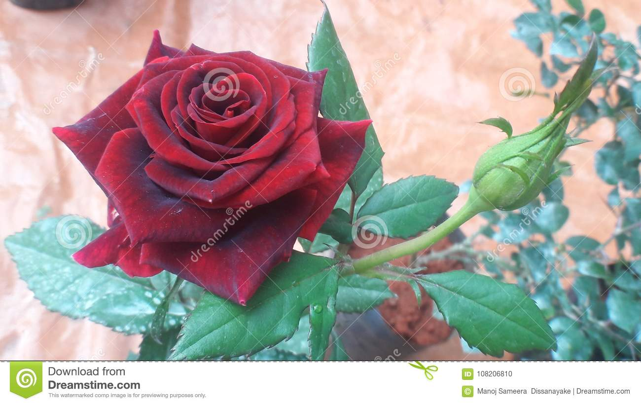 Red Rose Valentine Day Collection Most Beautiful Fancy Flowers