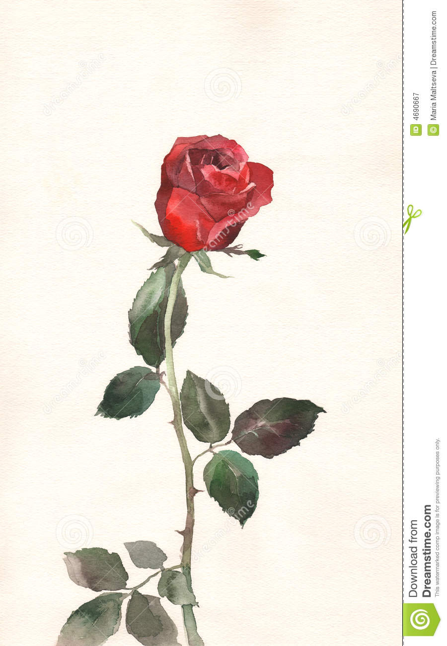 Red rose watercolor painting stock illustration image for How to paint a rose in watercolor step by step