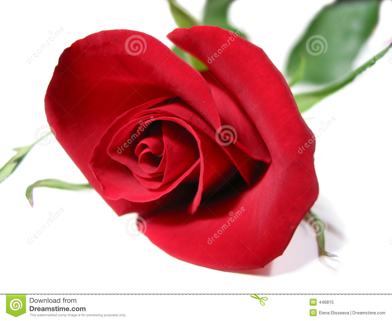 Beautiful Single Red Rose Flower Isolated Royalty Free: Red Rose White Background Royalty Free Stock Photo