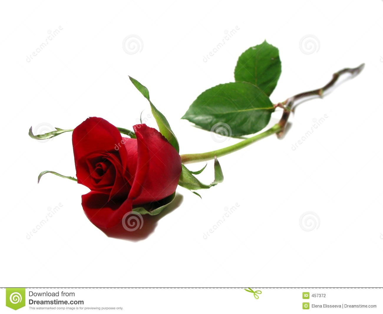 Beautiful Single Red Rose Flower Isolated Royalty Free: Red Rose White Background Stock Photography