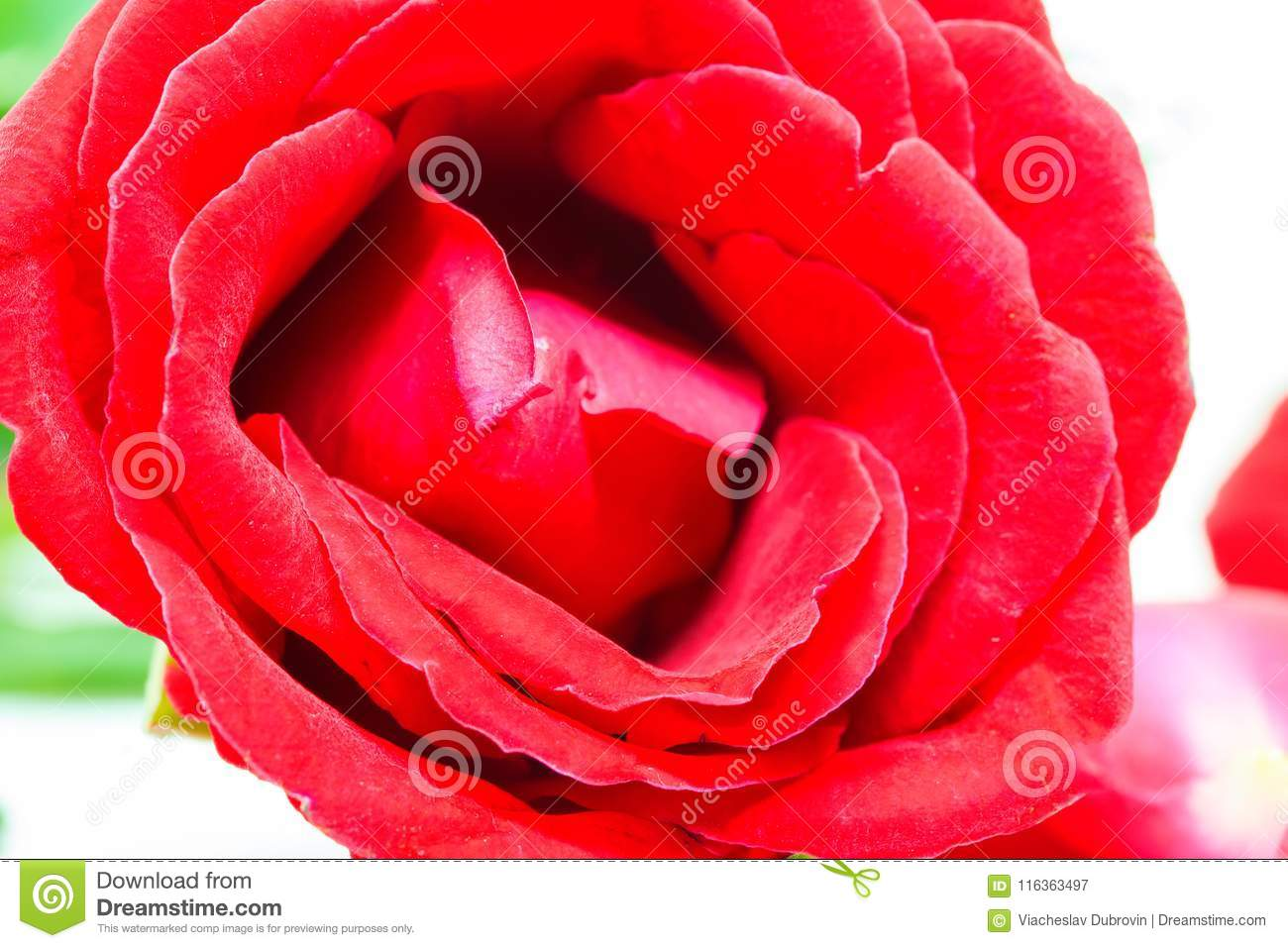 Red rose on white background hot pink flower banner template download red rose on white background hot pink flower banner template wedding decor mightylinksfo