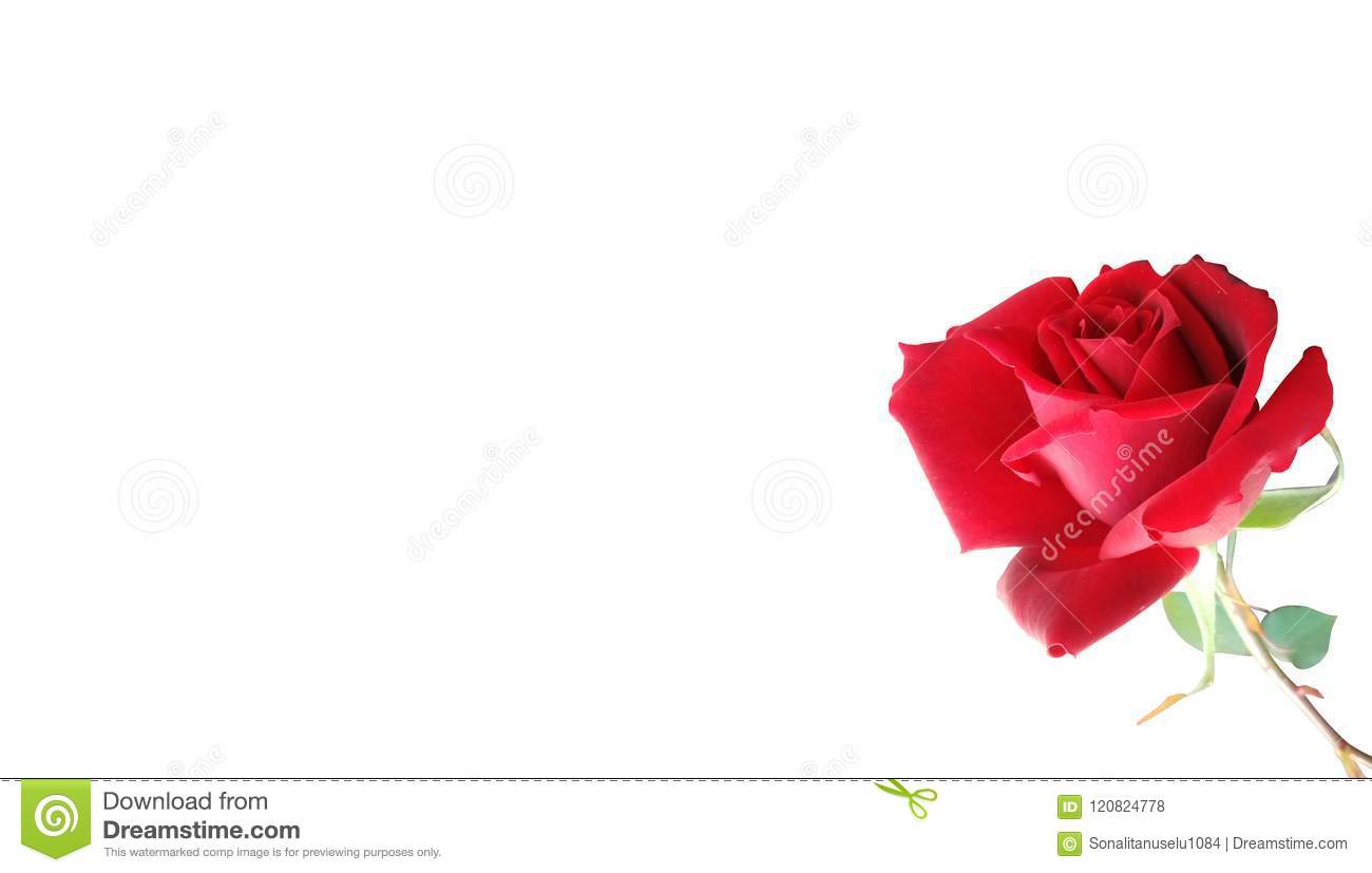 Red Rose With White Background Wallpaper, Stock Photo