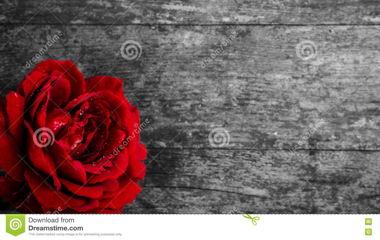 Red rose on wooden black and white background stock photo image of