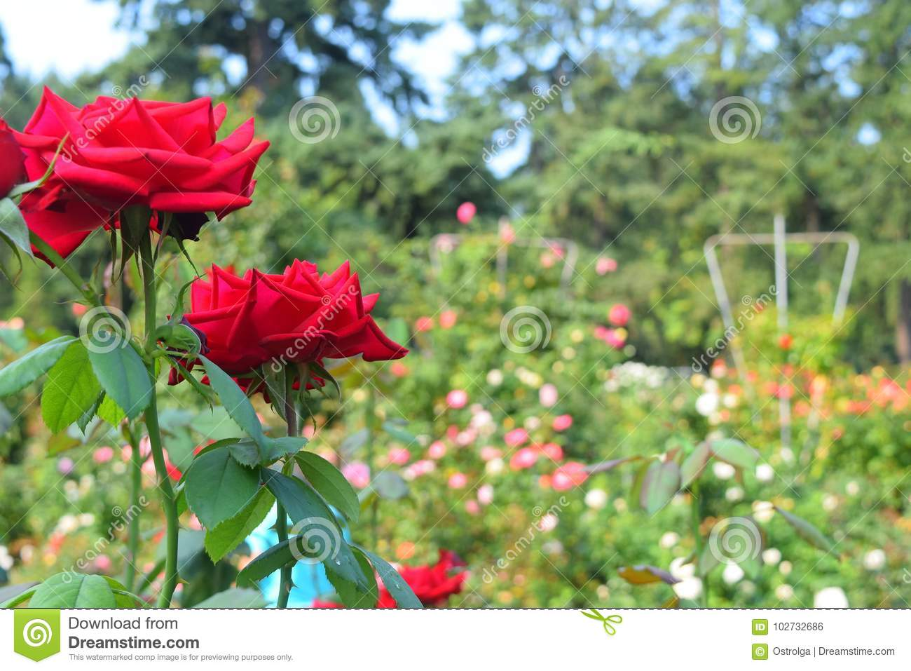 Red Roses Close Up In A Rose Garden Stock Photo Image Of