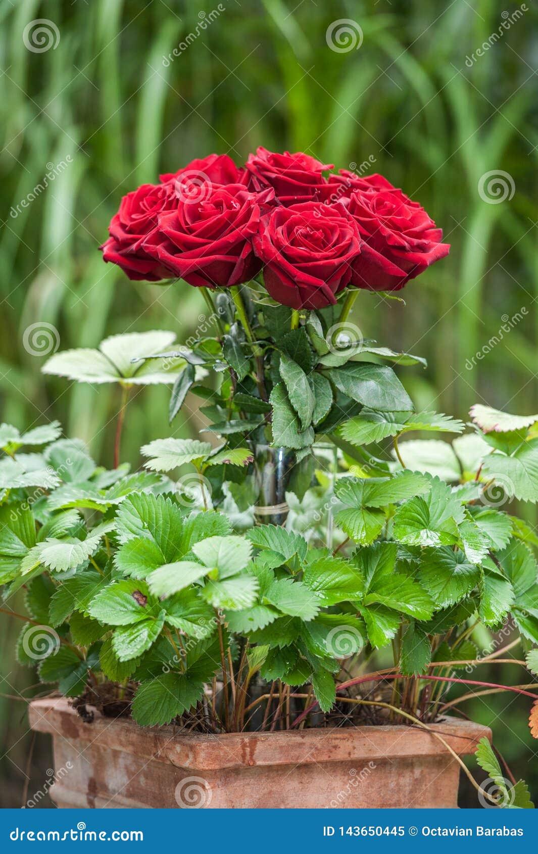 Red roses in flower pot