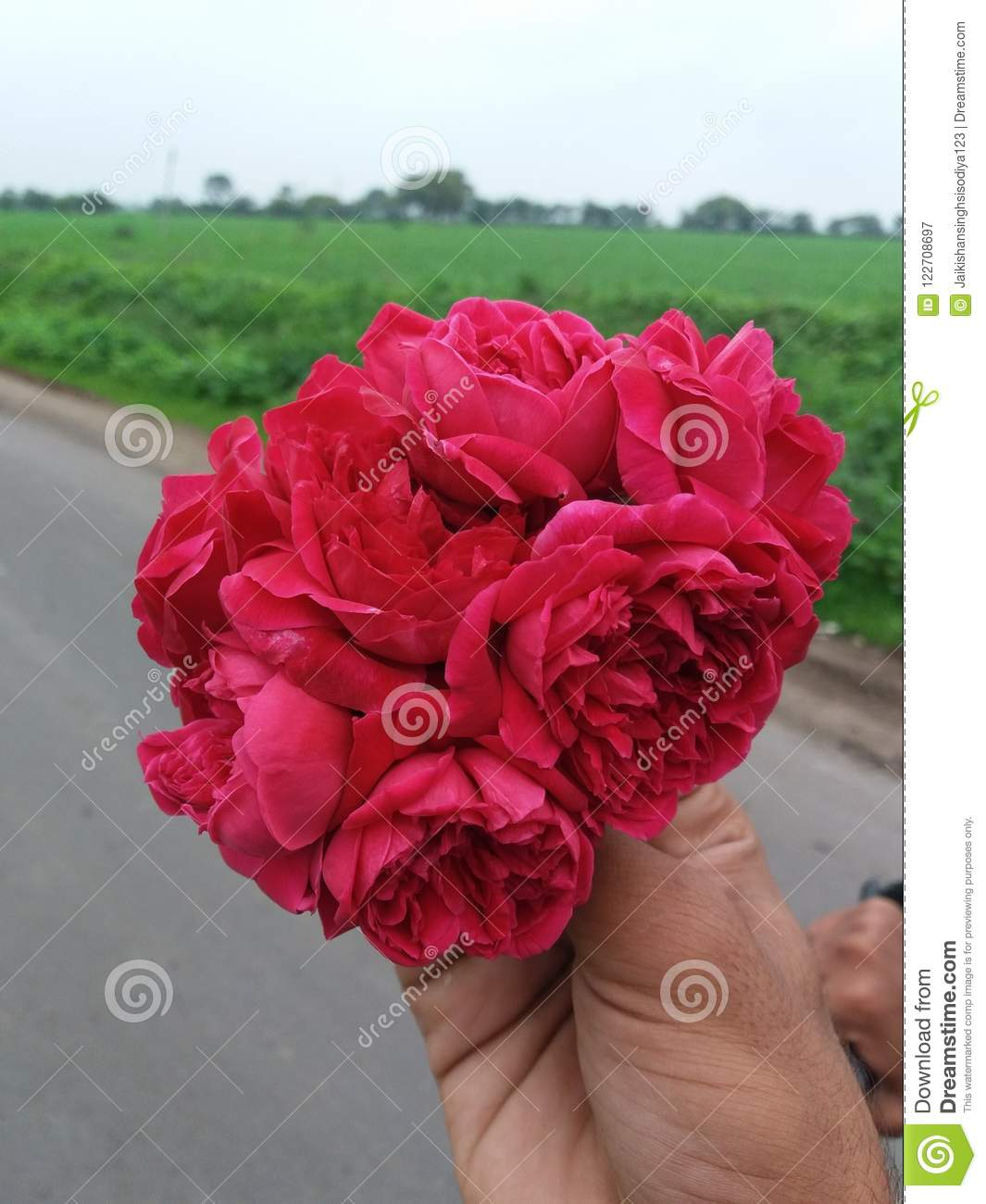 Red Roses With Natural Beauty Stock Image , Image of nature