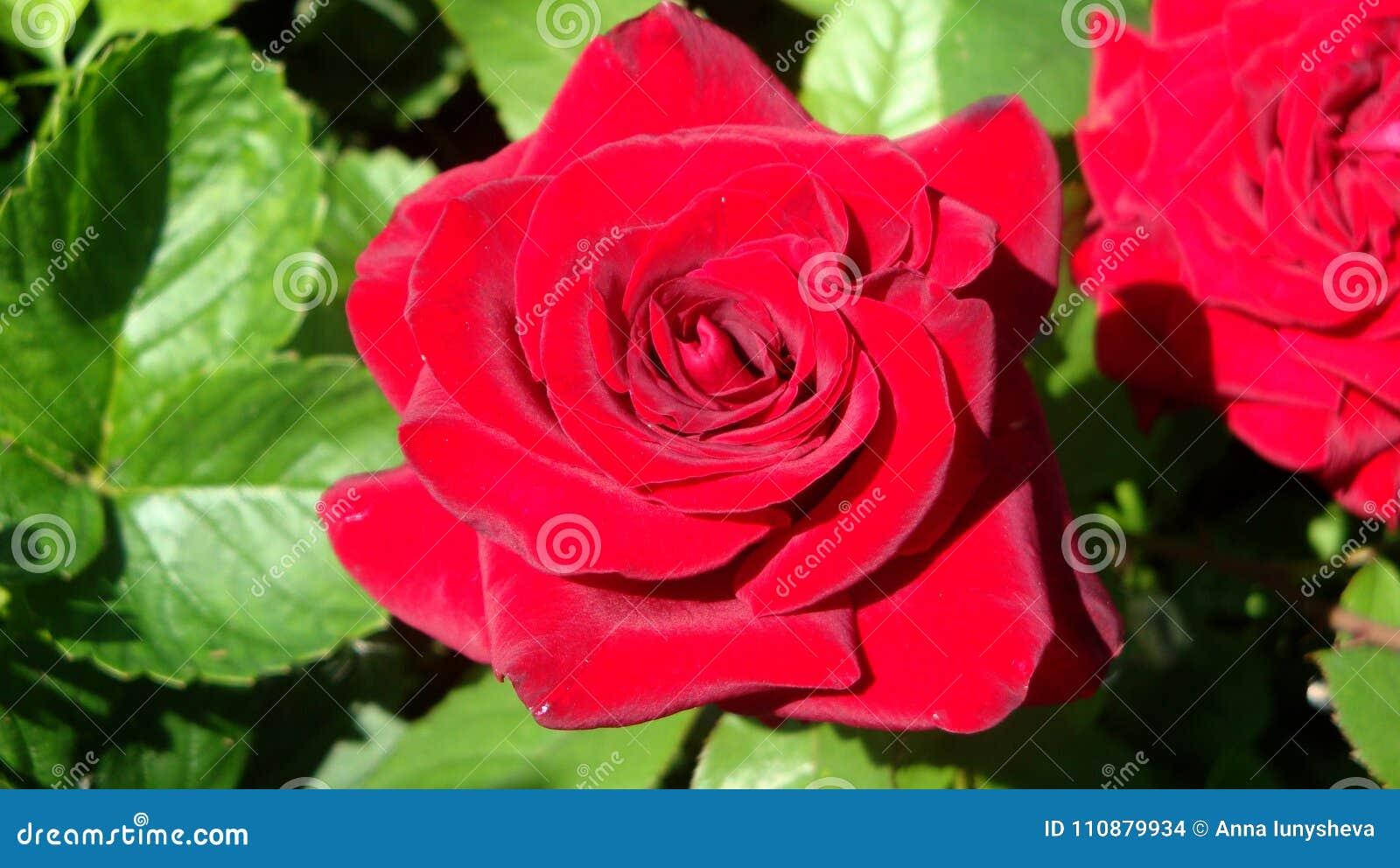 Red Roses Symbolize Love Stock Photo Image Of Brush 110879934