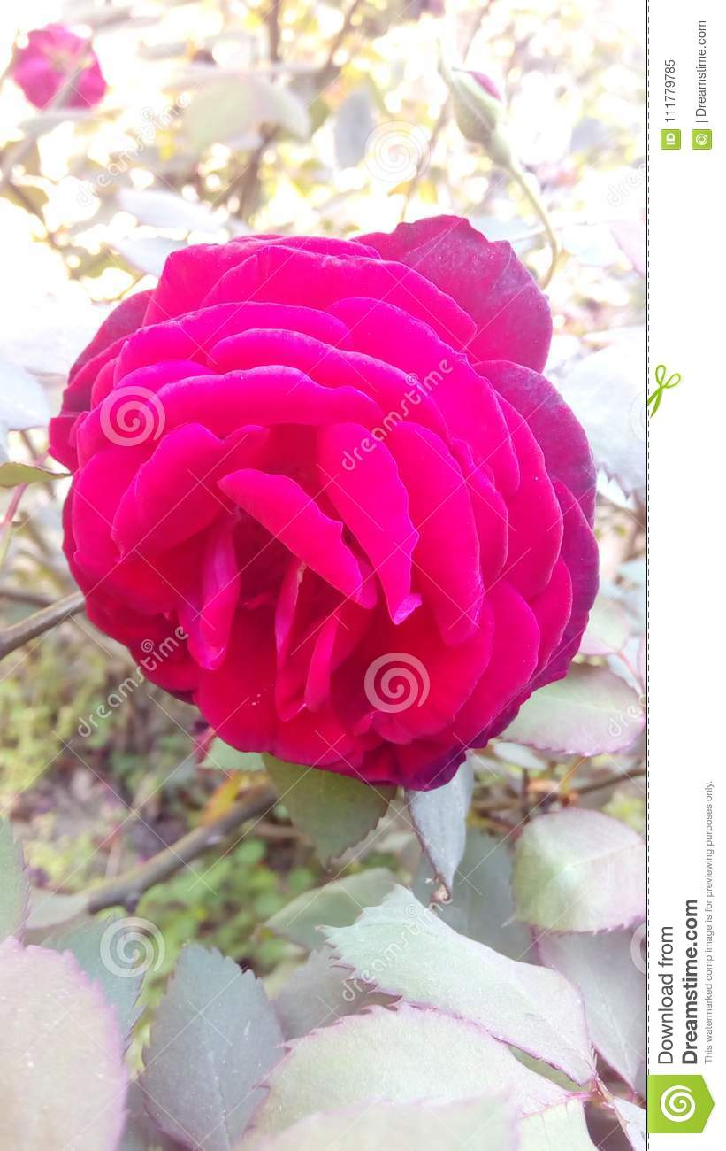 Red Roses are the symbols of love
