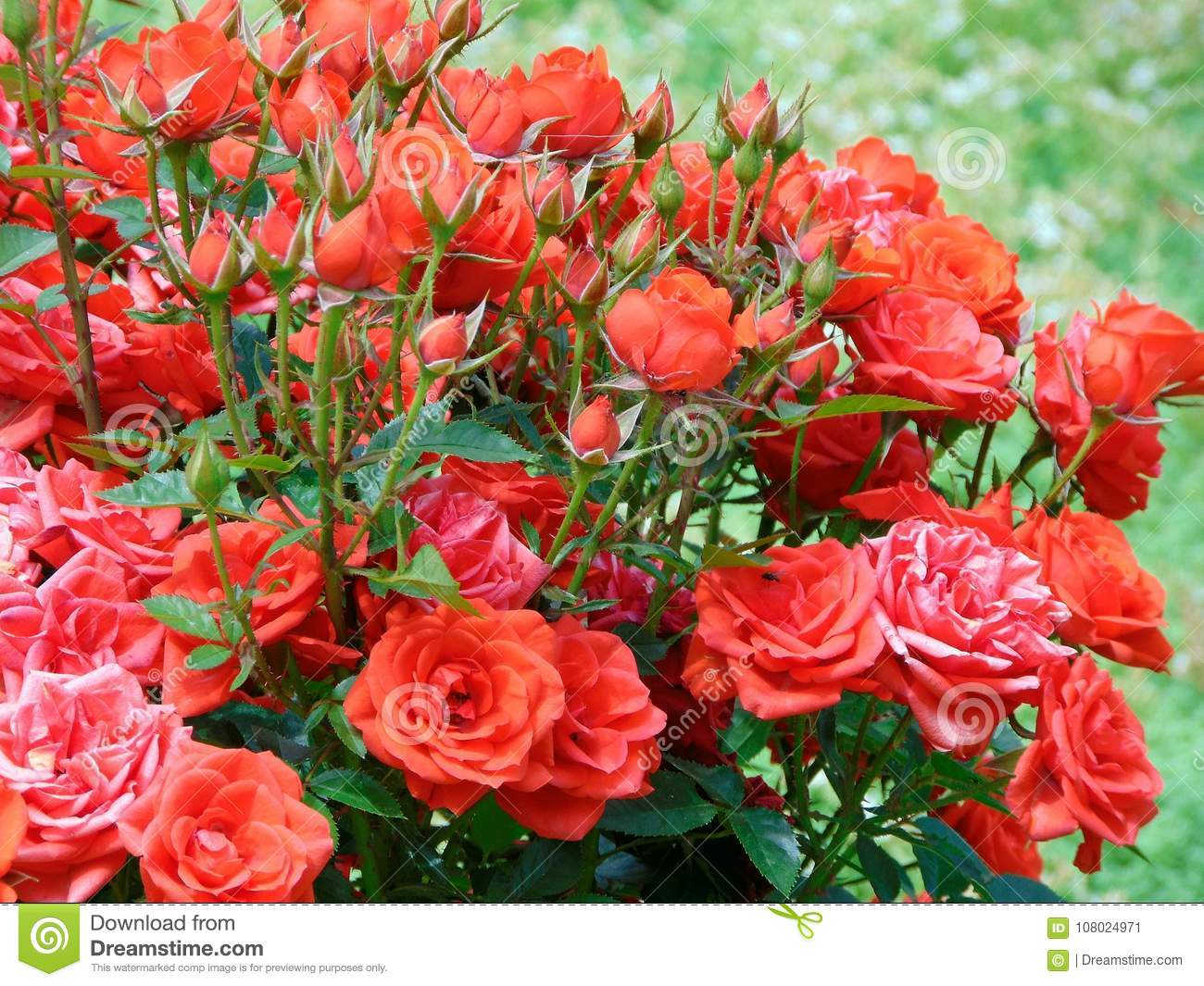 Red Roses To Orange Stock Image Image Of Contrast Color 108024971