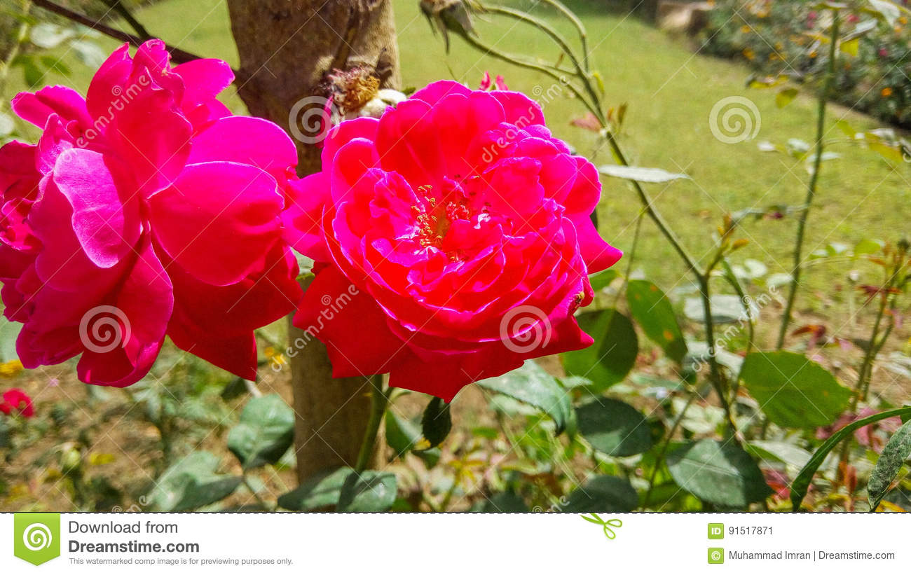 Red Roses Very Beautiful And Amazing Stock Image Image Of Paper