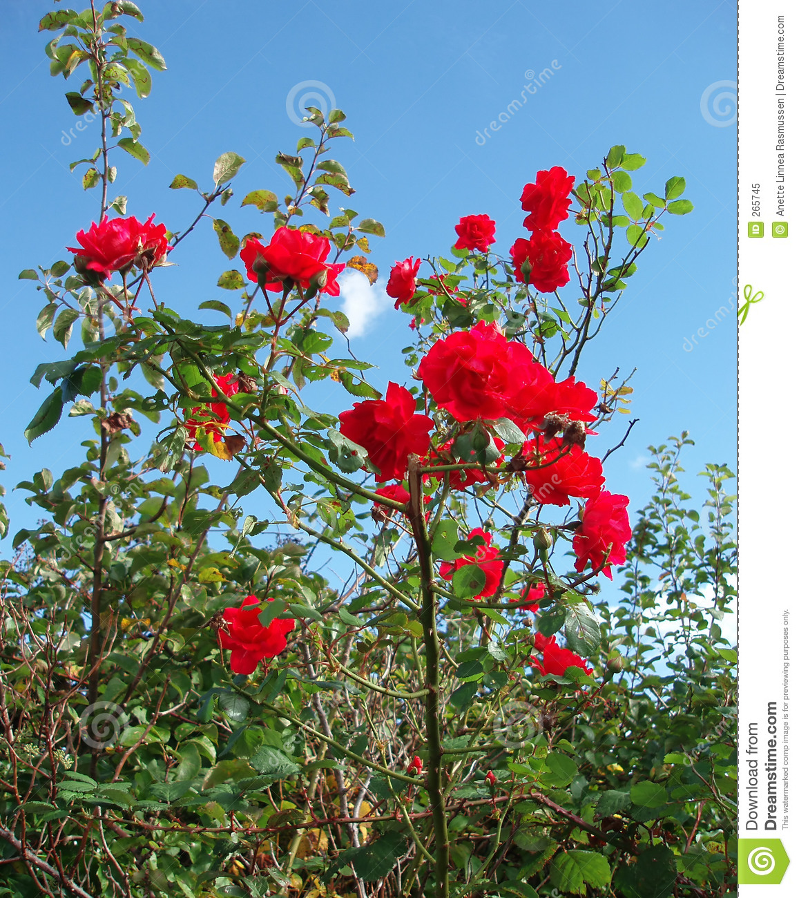 Red roses in wild nature
