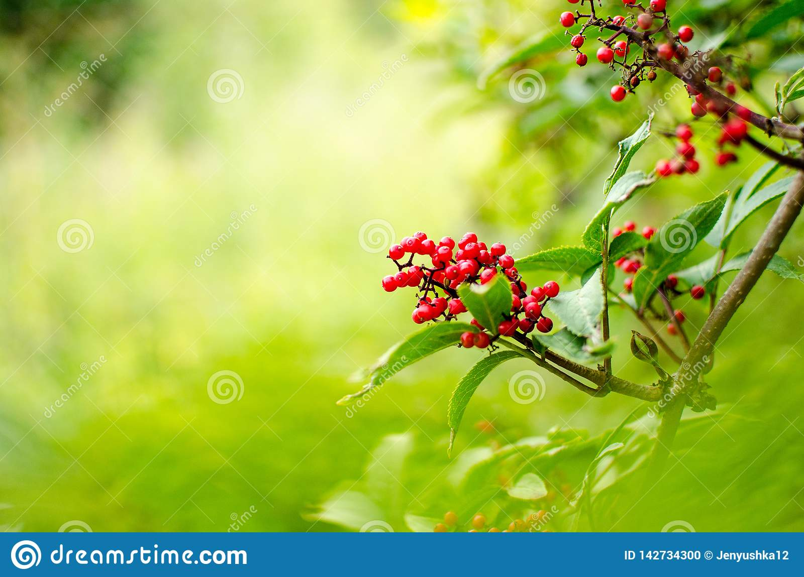 Red Rowanberries on a branch in summer