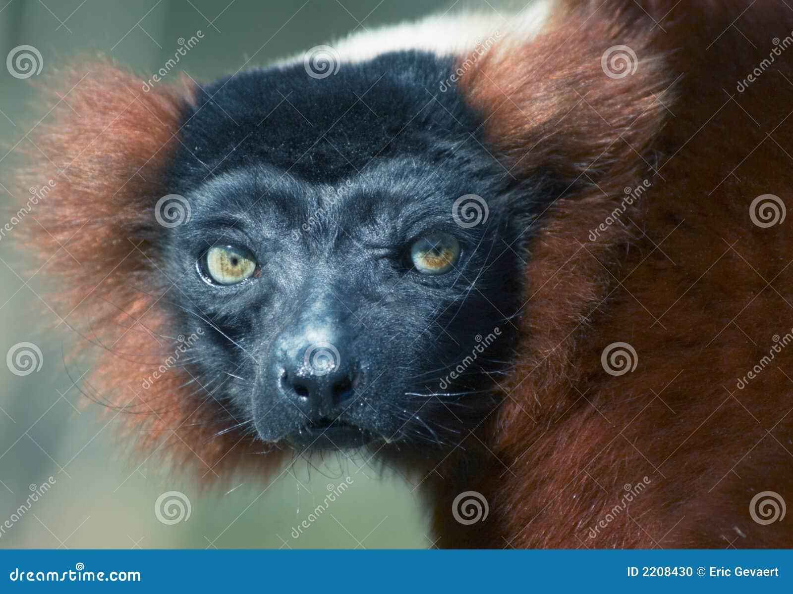 Download Red ruffed lemur stock photo. Image of madagaskar, front - 2208430