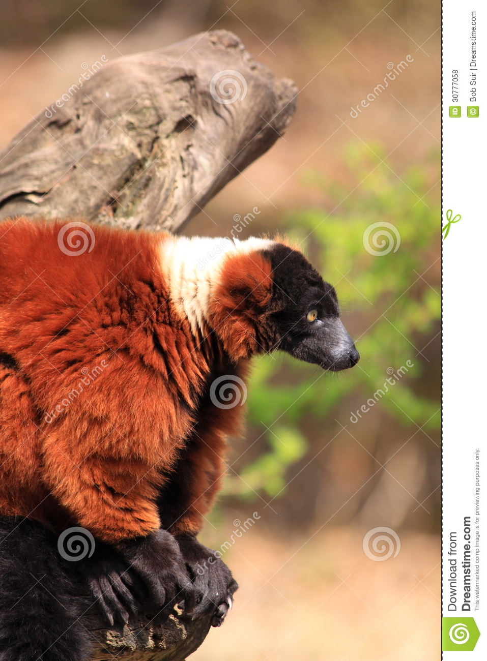 Red ruffed lemur monkey