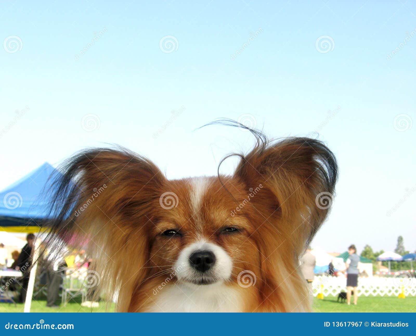 Red Sable Papillon Dog At A Dog Show