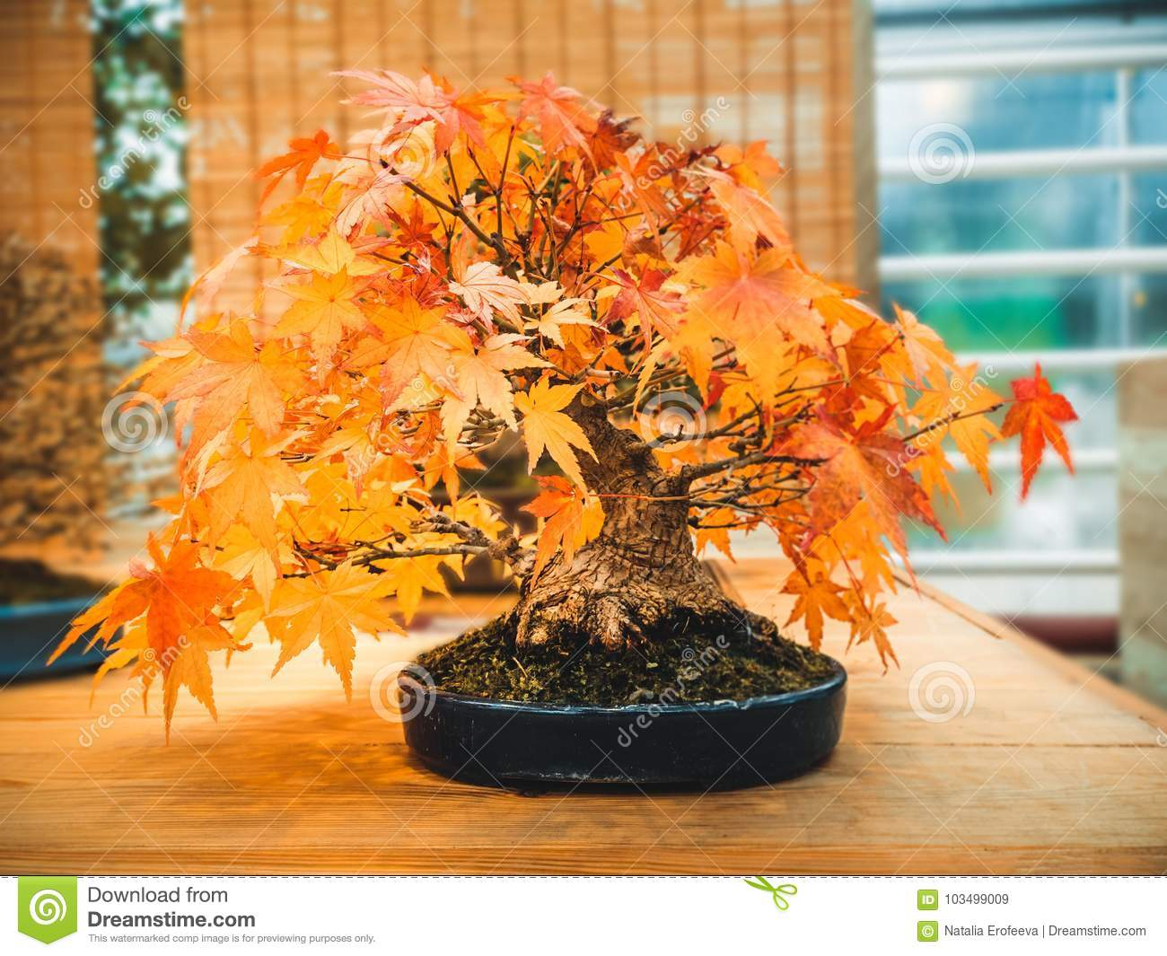 Red Scarlet Bonsai Maple Tree Acer Palmatum Bonsai Tree Of Trident