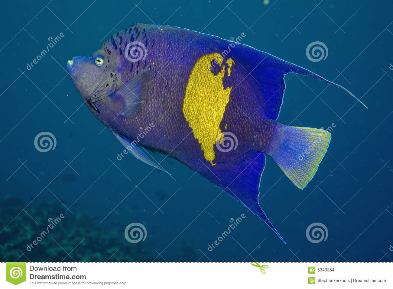 Red Sea Angelfish (Pomacanthus maculosus)
