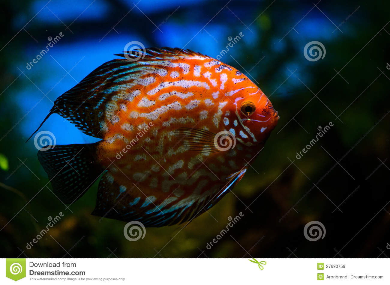 Red sea fish royalty free stock images image 27690759 for Red sea fish