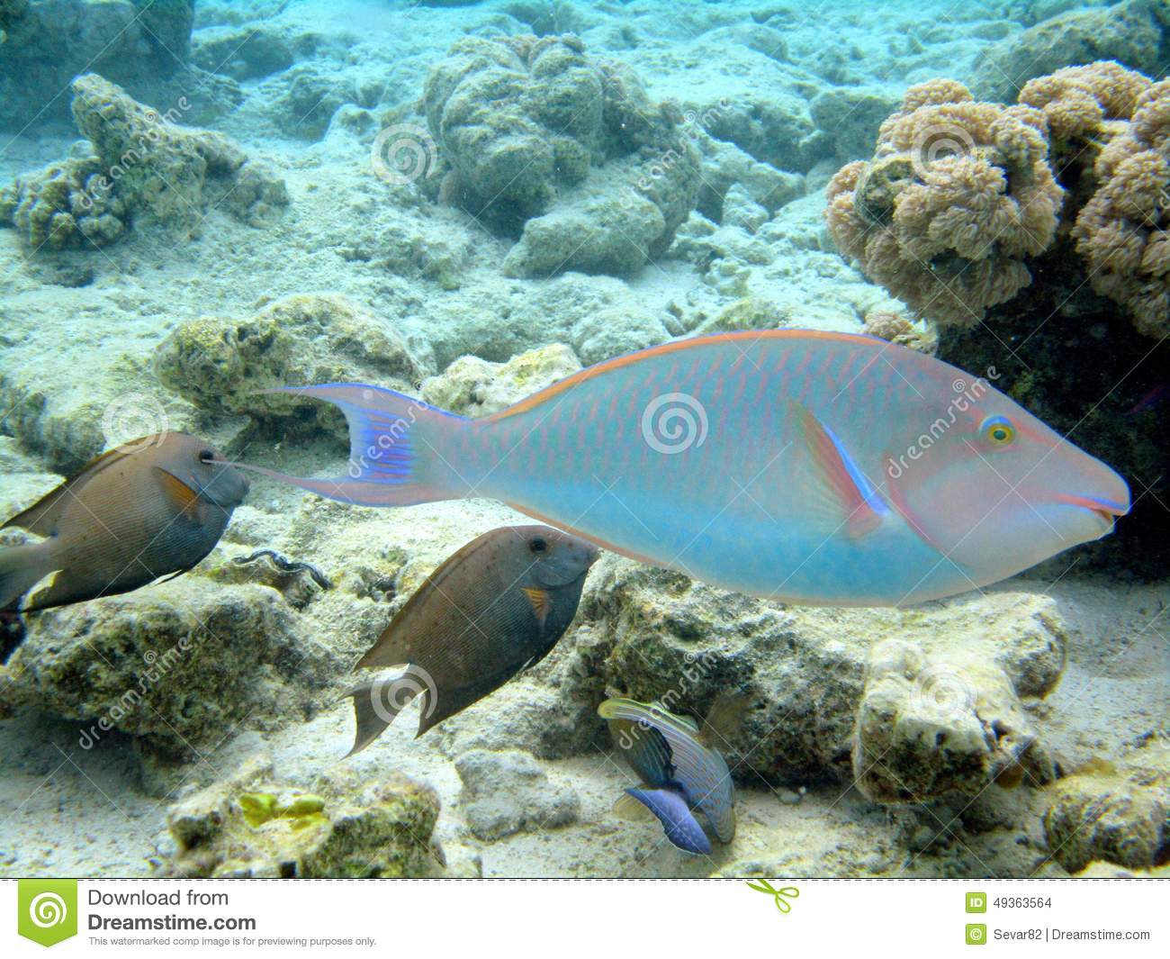Red sea fish stock photo image 49363564 for Red sea fish